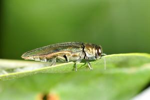 ashborer-leaf